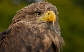 Wallpaper birds, predator, beak, white-tailed eagle