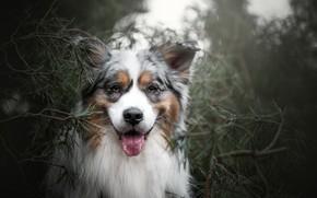 Picture look, face, branches, portrait, dog, pine, Australian shepherd, Aussie