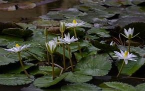 Picture leaves, Flowers, buds, Water Lily