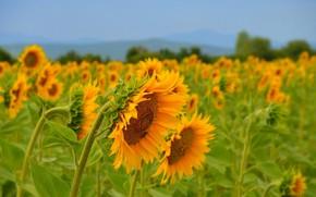 Picture Field, Summer, Sunflowers, Summer, Field, Sunflowers
