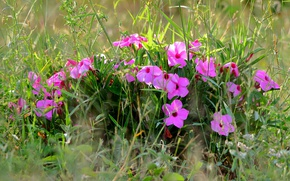 Picture grass, pink, Impatiens
