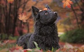 Wallpaper dog, autumn, leaves