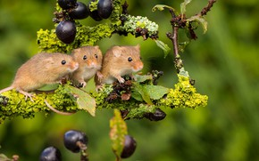 Picture background, branch, trio, mouse, Trinity, Harvest Mouse, The mouse is tiny