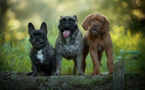 Wallpaper language, friends, summer, funny, bokeh, puppies, nature, dogs, faces, puppy, Trinity
