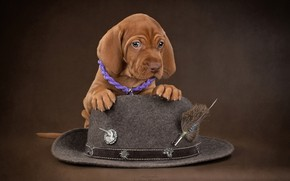 Picture background, dog, hat, puppy, Marking the Hungarian
