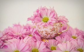 Picture flowers, Cup, pink, Daisy