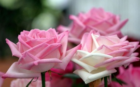 Picture tenderness, roses, petals