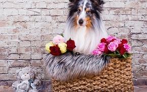 Picture look, face, flowers, wall, basket, toy, roses, dog, bear, Teddy bear, sheltie, Shetland Sheepdog