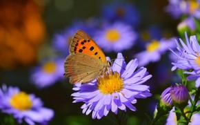 Picture Macro, Butterfly, Bokeh, Bokeh, Macro, Purple flowers, Butterfly, Purple flowers