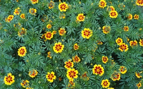 Picture flowers, yellow, red, marigolds