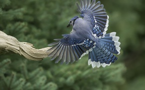 Picture bird, wings, feathers, tail, snag, Blue Jay