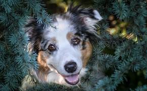 Wallpaper spruce, Dog, puppy, twigs