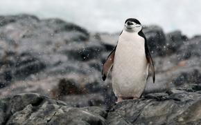 Wallpaper rocks, Antarctica, relaxing, penguin