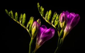 Picture macro, purple, freesia