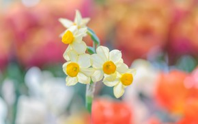 Picture background, daffodils, bokeh