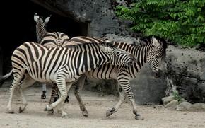 Picture animals, black and white, Zebra