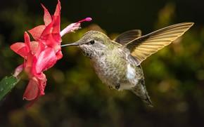 Picture flower, Hummingbird, bird, Decembrist, schlumbergera, William Lee