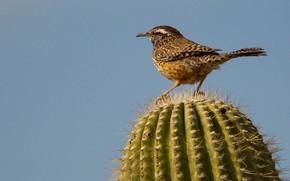 Picture bird, cactus, tail, ordinary cactus Wren