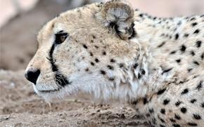 Picture cat, wool, Cheetah