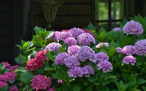 Picture garden, the bushes, hydrangea
