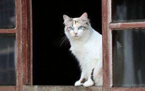 Picture cat, look, window, blue eyes
