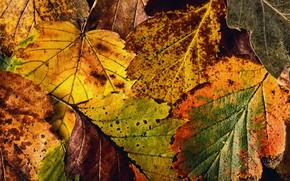 Wallpaper texture, autumn, leaves