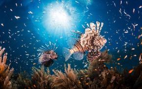 Wallpaper under water, fish, the ocean, fish lion, sea