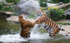 Picture squirt, the game, predators, fight, pair, wild cats, tigers