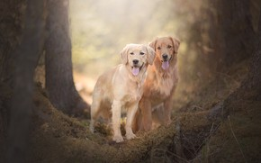 Picture dogs, pair, bokeh, two dogs, Golden Retriever, Golden Retriever