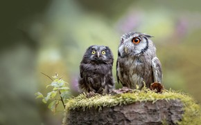 Wallpaper birds, nature, background, owl, two, moss, stump, owls, a couple, owl, owl, friends and comrades