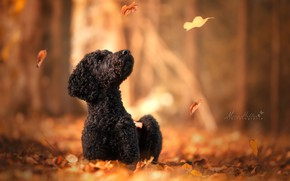 Wallpaper bokeh, autumn, Poodle, dog, leaves