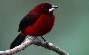 Wallpaper bird, painted Tanagra, tail, branch, beak