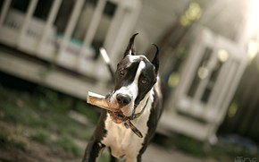 Picture walk, great Dane, by ONE-Photographie