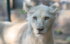 Picture cat, white, look, face, background, portrait, Leo, lioness, lion, zoo, wild, lion, young, teen