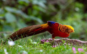 Picture grass, nature, bird, tail, Golden pheasant