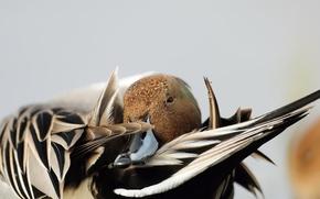 Picture nature, bird, duck