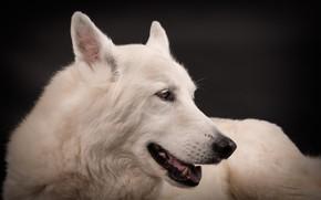 Picture face, portrait, dog, white, black background