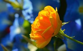 Picture Flower, Flower, Bokeh, Boke, Yellow rose, Yellow rose
