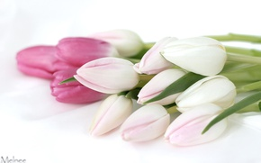 Picture tenderness, tulips, buds