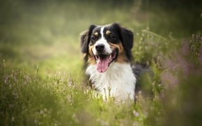 Wallpaper language, Heather, grass, bokeh, face, Australian shepherd, Aussie, dog