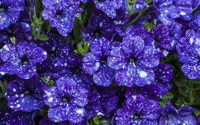 Picture purple, flowers, beautiful, Petunia