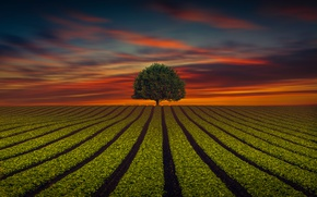 Picture field, the sky, strip, tree, the evening
