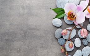Wallpaper stones, Orchid, orchid, spa, flowers, pink