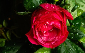 Picture drops, macro, rose, Bud, after the rain