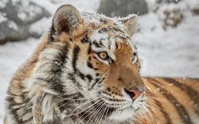 Picture face, portrait, wild cat, tigress
