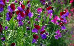 Picture greens, summer, bright colors, flowers, plants, leaves, antennae, buds, sweet peas, flowering meadow