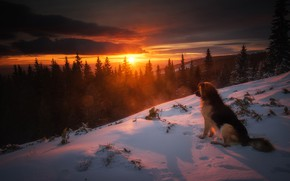 Picture winter, forest, snow, sunset, nature, dog, ate, dog