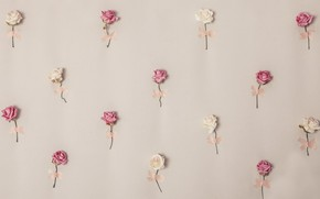 Picture flowers, roses, petals, pink, white, buds, decor