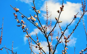 Picture branches, tree, spring, apricot, flowering