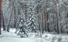 Picture winter, forest, snow, tree
